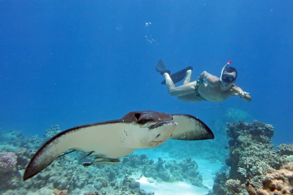 Snorkler with manta ray, ProjectManta.