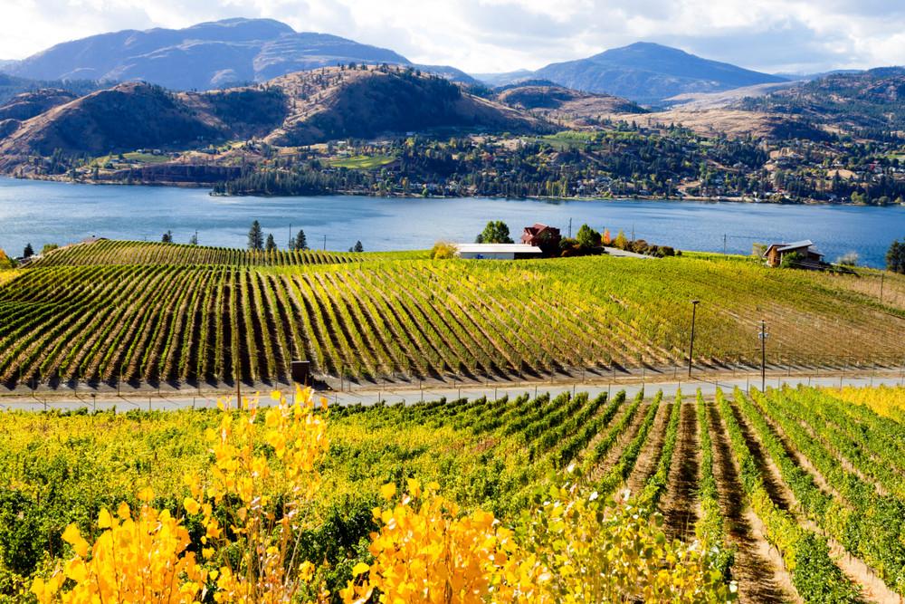 Vineyards in the Okanagan Valley, Okanagan, British Colombia, Canada.