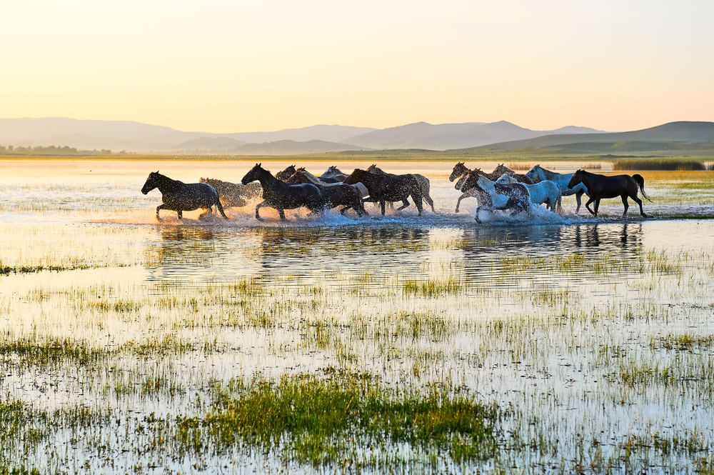Horses in Mongolia.