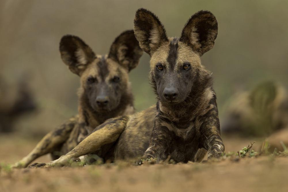 Wild Dog Conservation, Zululand, South Africa.