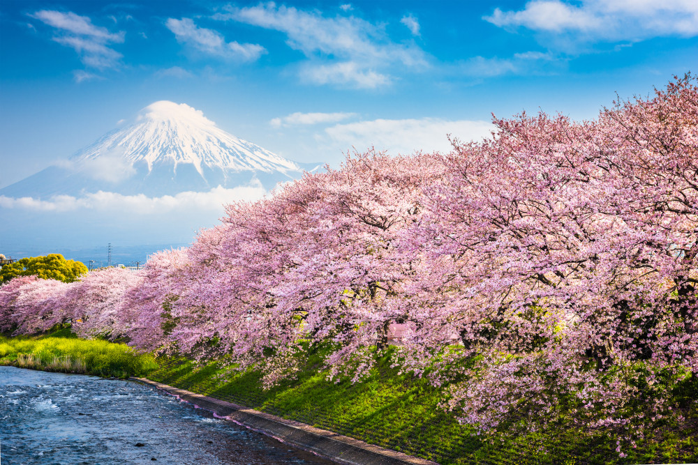 Cherry Blossoms, Mt. Fuji, Japan.
