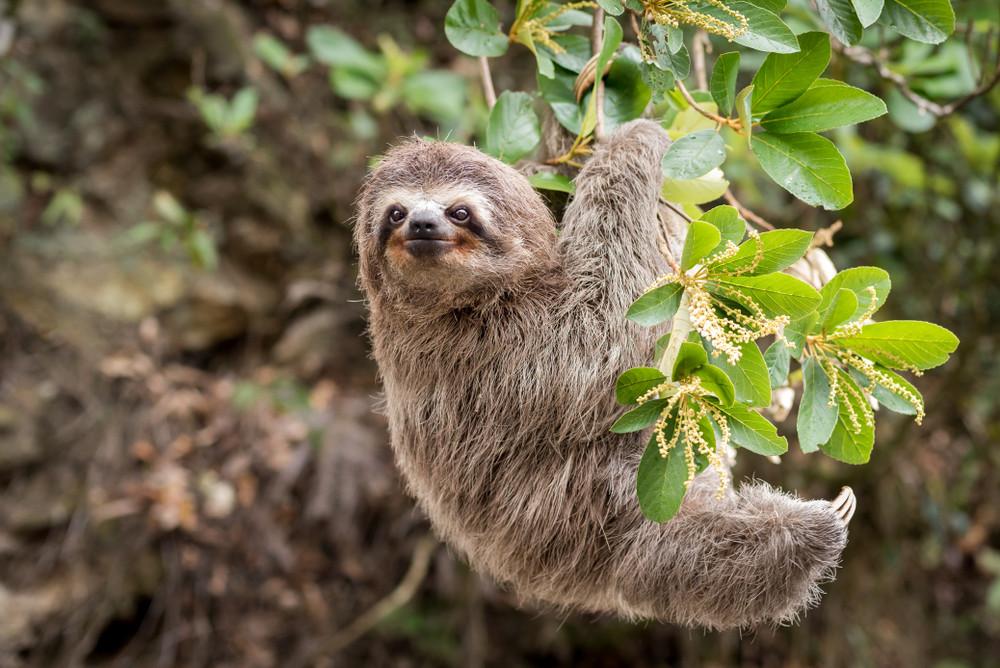 Sloth in Manuel Antonio National Park, Costa Rica.