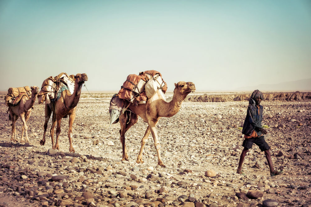 Caravan of camels transporting salt, Danakil Depression, Ethiopia.