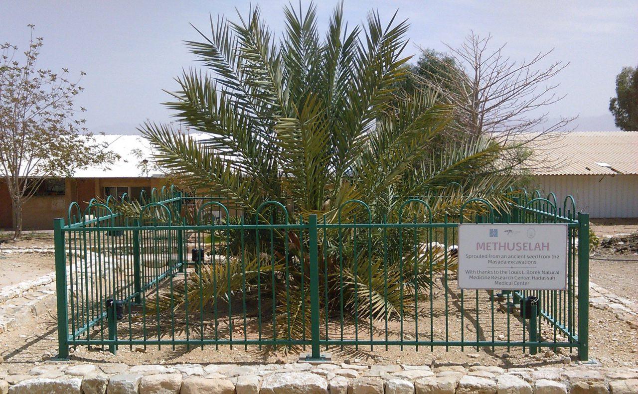 Judean Date Palm Methuselah, KibbutzKetura,Israel.