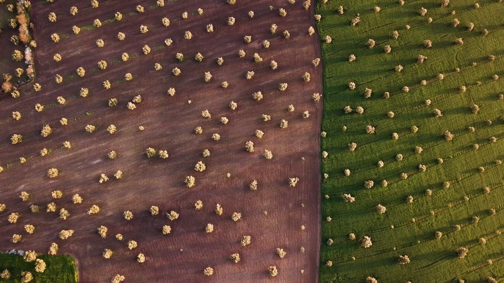 Olive fields, Meknes, Morocco.