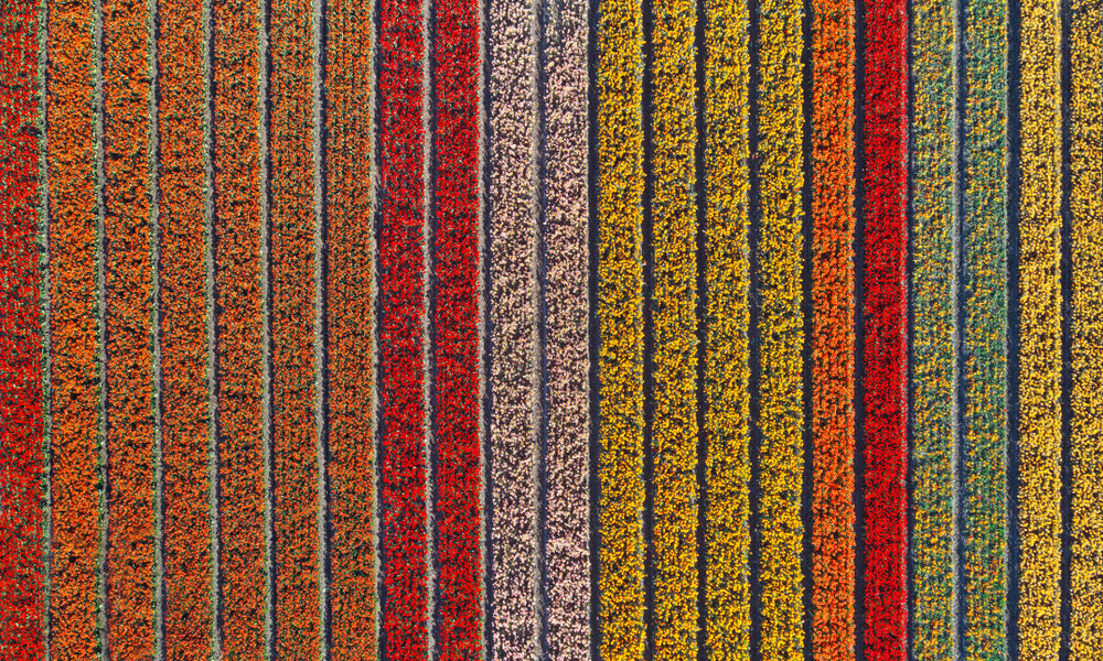 Tulips in Holland, Netherlands.