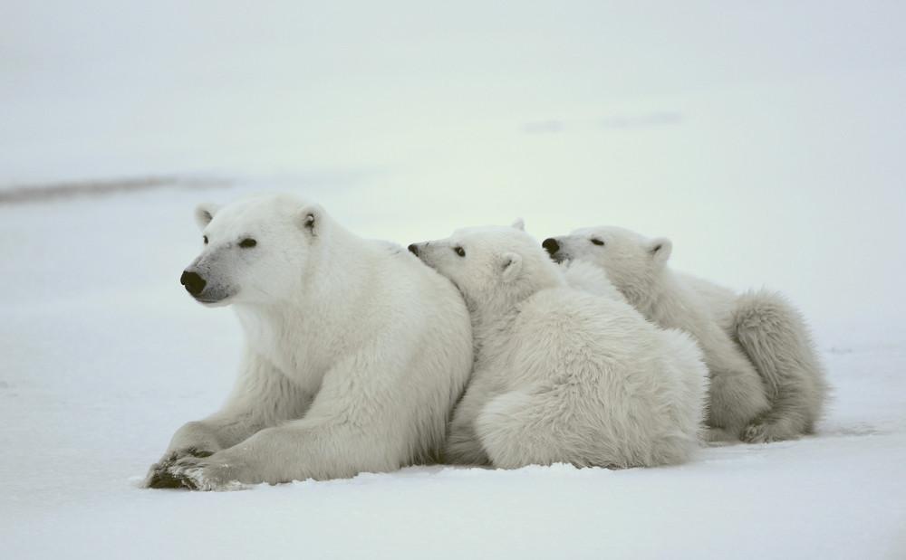Polar Bears in Manitoa, Canada.
