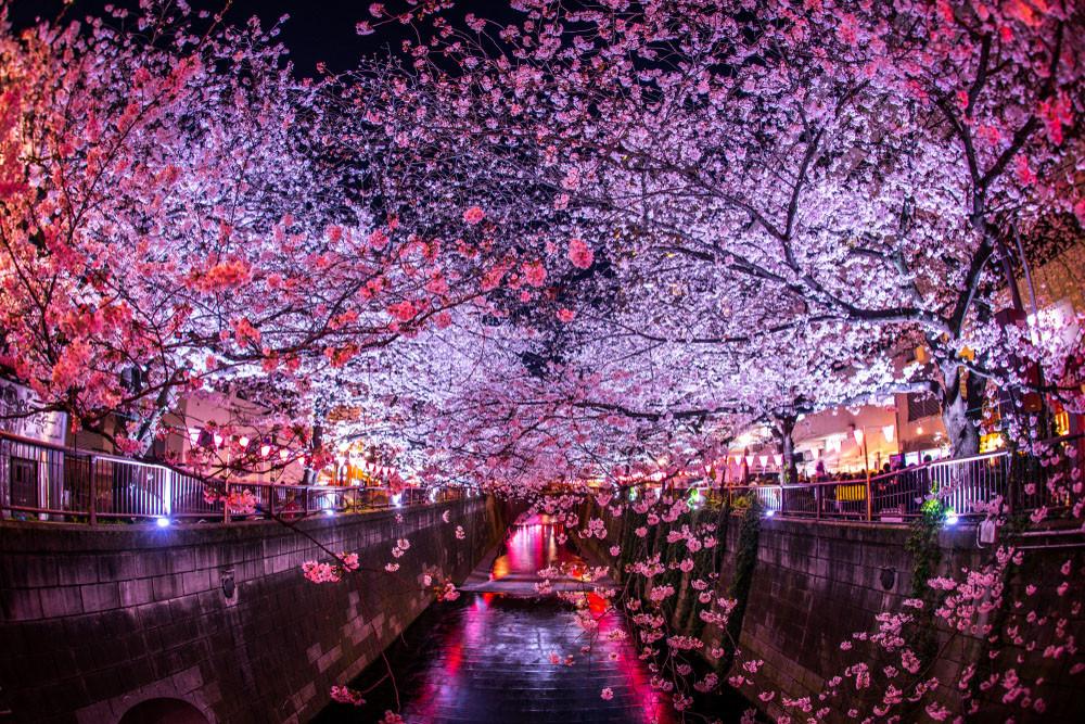 Cherry blossoms at night, Meguro River, Japan.