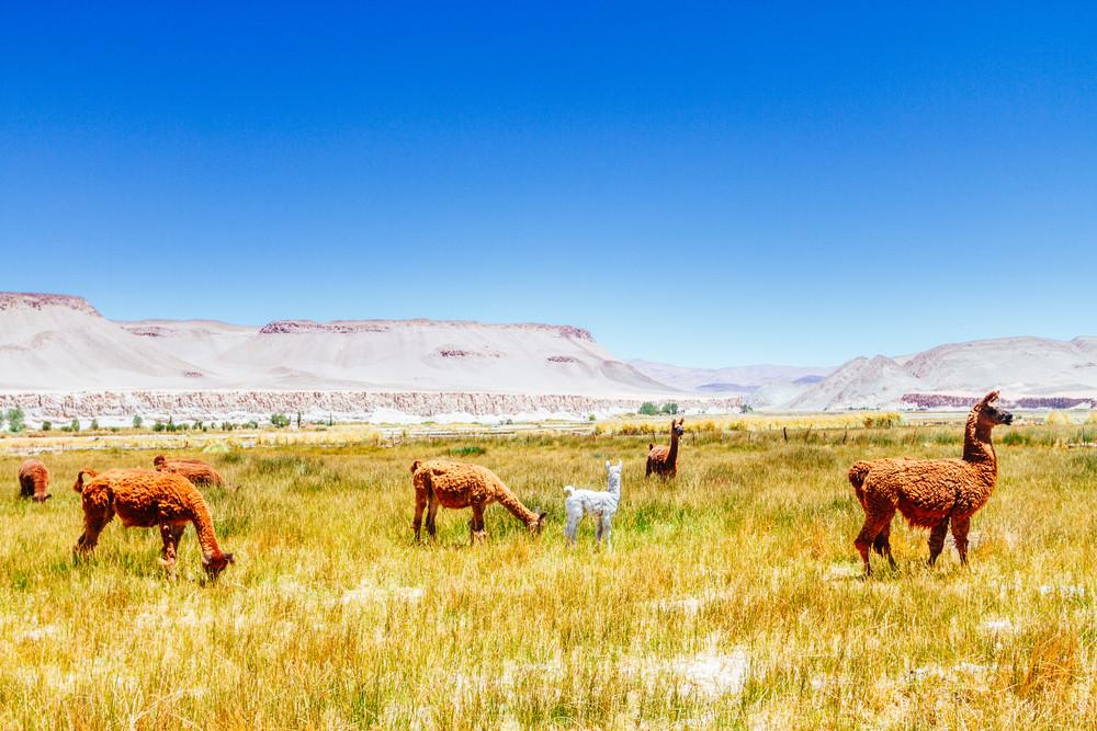Llamas in the Salta province, Argentina.
