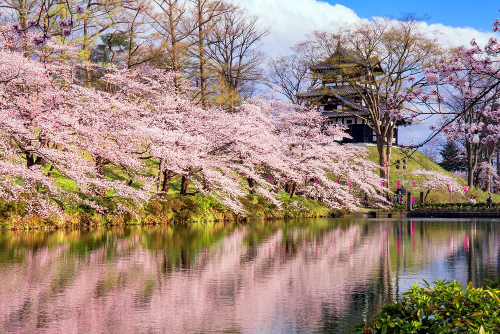 Cherry blossoms cover the castle park, Takada Castle, Japan.