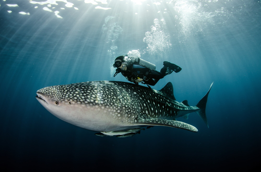 Swimming with whale sharks, Koh Samui, Thailand.