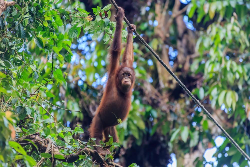 Orangutan, Kalimantan, Indonesian Borneo.