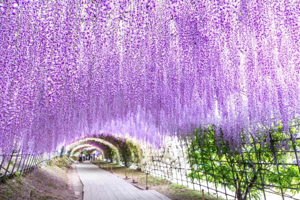 Kawachi Wisteria Garden, Kitakyushu